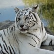 Royalty-Free Stock Photo: Close up of White Bengal Tiger