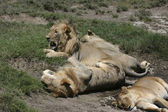 Lions resting — Stock Photo