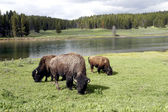 Bison or Buffalo in Yellowstone National Park — Stock Photo