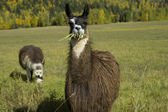 Llama eating grass — Stock Photo
