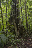Tropical tree in the Ecuadorian Amazon — Stock Photo