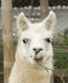 White Llama with a funny look — Stock Photo