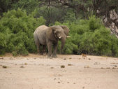 Desert Elephant & dogs in Namibia — Stockfoto