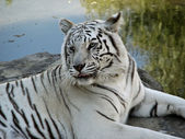 Close up of White Bengal Tiger — Stock Photo