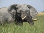 Elephant in the Okavango Delta — Stock Photo