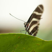 Papilio Rumanzovia — Stock Photo