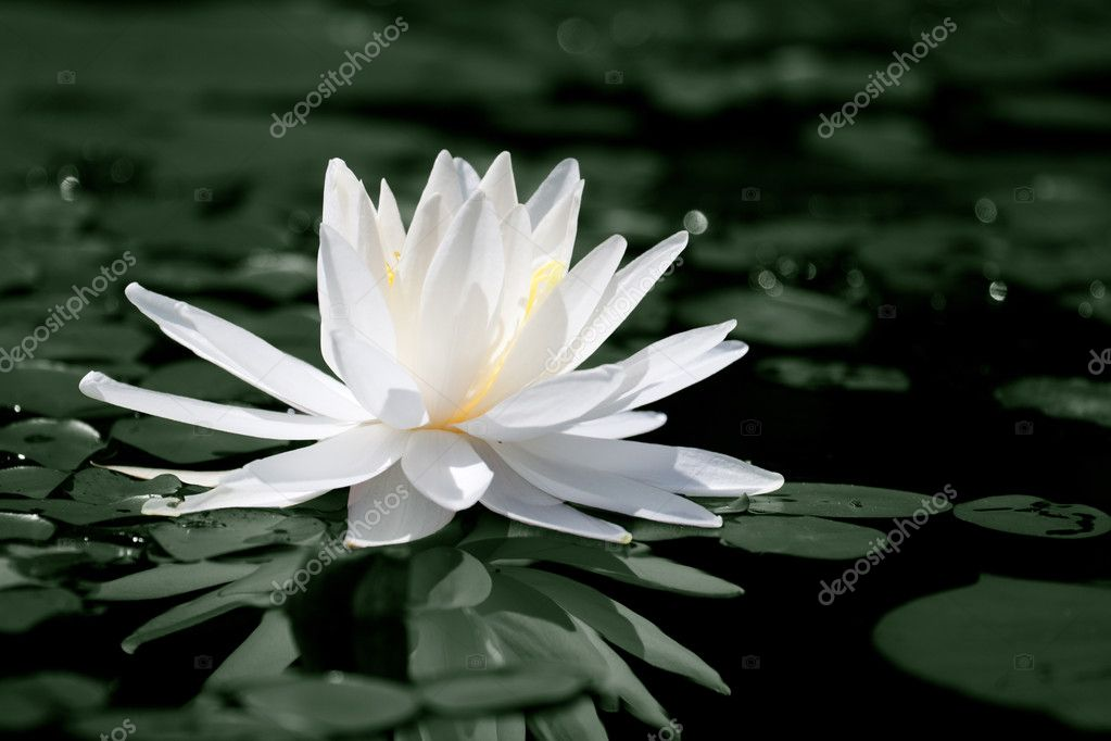 A water lily in a pond — Stock Photo #6297740