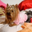 Stock Photo: Chestnut Yorkshire Terrier