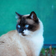 Portrait of a Thai cat - Stock Photo