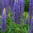 Stock Photo: Purple Lupin floraison
