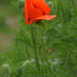 Big Oriental Poppies — Stock Photo