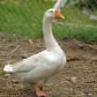 Fat white goose — Stock Photo