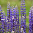 Purple lupins flowering - Stock Photo