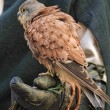 Royalty-Free Stock Photo: Kestrel