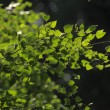 Foliage of birch — Stock Photo #6274133