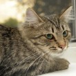 Stock Photo: Gray striped cat