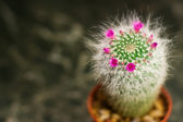 Closeup of a cactus with pink flower. Mammillaria hahniana — Stock Photo