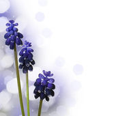 Muscari. Floral Background — Stock Photo