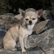 Chihuahua on a stone — Stock Photo