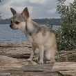 Chihuahua at the beach — Stock Photo