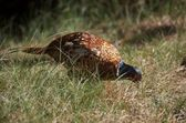Pheasant [Phasianus colchicus] — Stock Photo