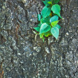 Little pipal on old big tree — Stock Photo