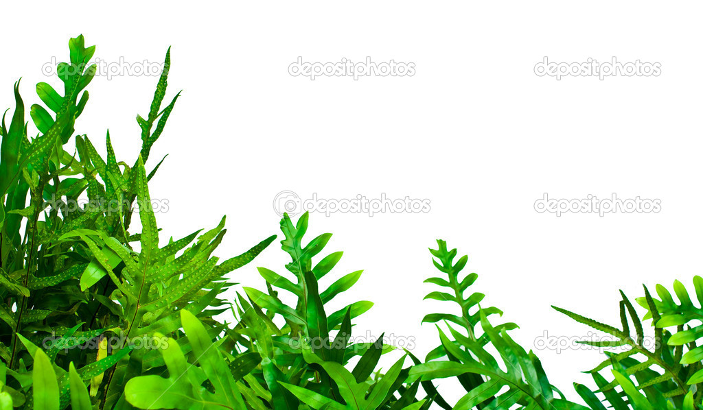 Fern isolated on white background  Stock Photo #5575809
