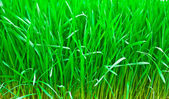 Green fresh young wheat close up — Stock Photo