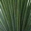 Thin and Prickly Green Agave Texture — Stock Photo
