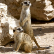 Couple of curious meerkats - Stock Photo