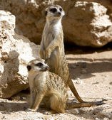 Couple of curious meerkats — Stock Photo