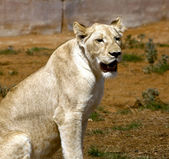White lion — Stock Photo