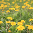 Dandelions background - Stock Photo