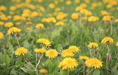 Dandelions background — Stock Photo