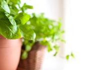Basil in Pot — Stock Photo