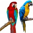 ArParrots — Stock Photo #5421144