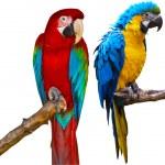 Ara Parrots — Stock Photo #5421144