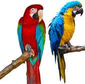 Ara Parrots — Stock Photo