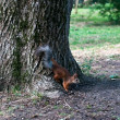 Red squirrel sitting on the tree — Stock Photo #6162474