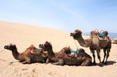 Camels in the deserts — Stock Photo