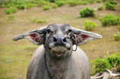 Portrait of a buffalo — Stockfoto