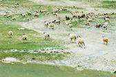 Sheep on the pasture — Zdjęcie stockowe