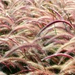 Bristle grass Herb — Foto Stock