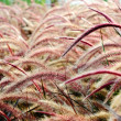 Bristle grass Herb — Stock Photo