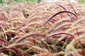 Bristle grass Herb — ストック写真