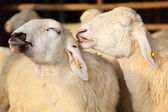 Two Happy Sheep Smiling in The Farm — Stock Photo