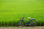 Old bicycle with paddy field background — Stock Photo