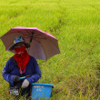 Farmer working in a rice field,rice selection — Stock Photo