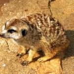 Pleading Southern African Meerkat — Stock Photo