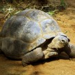 Stock Photo: Enormous South AfricTortoise Bergskilpad